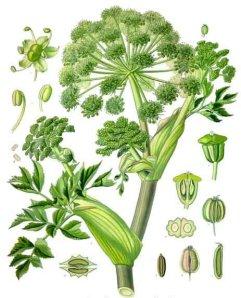garden angelica herb image